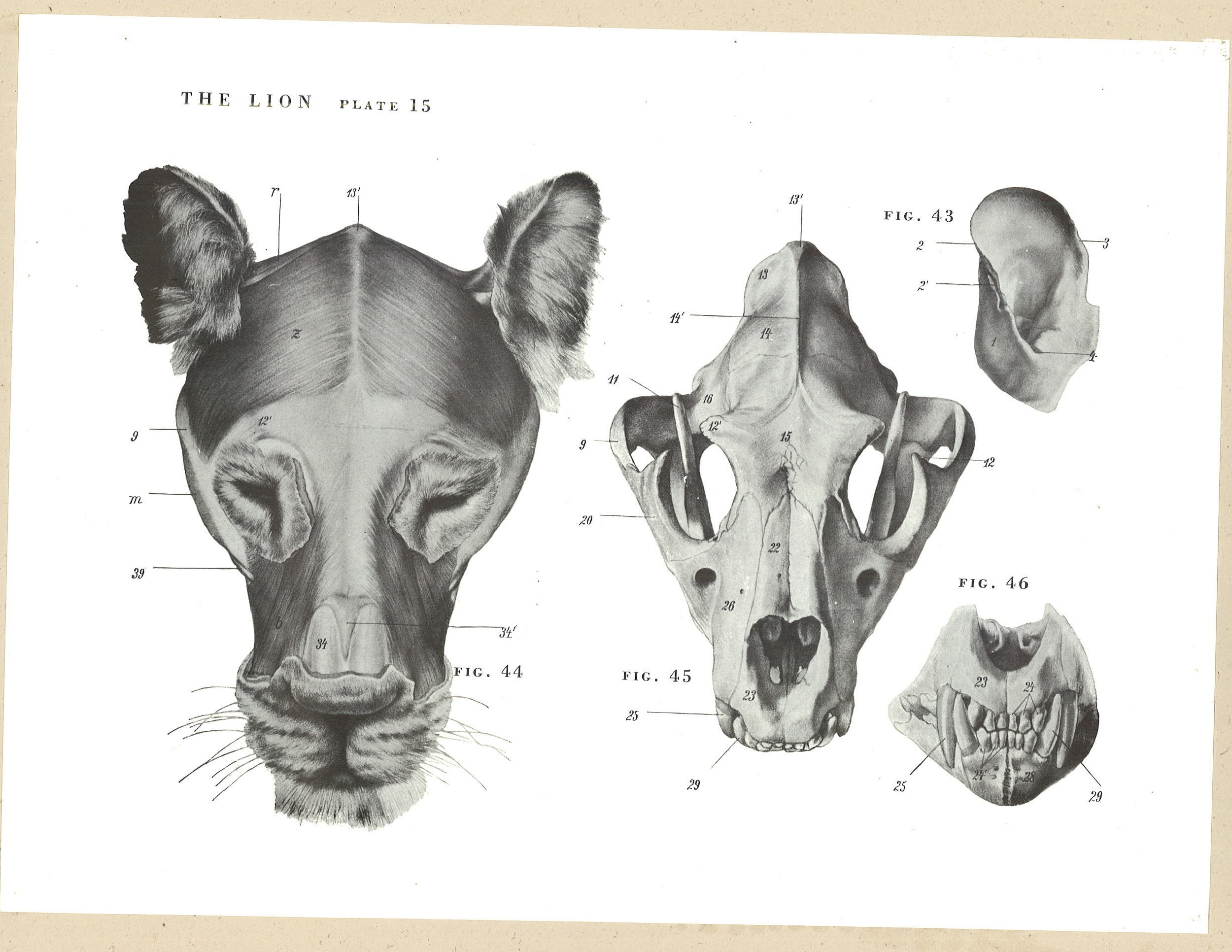 Anatomy–Animals | SVA Library Picture & Periodicals Collections