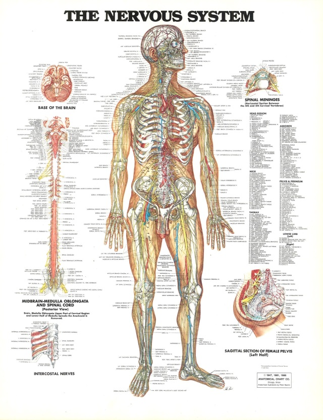 © 1947, 1981, 1986 Anatomical Chart Company. Chicago, Illinois. Anatomical Illustration by Peter Bachin.