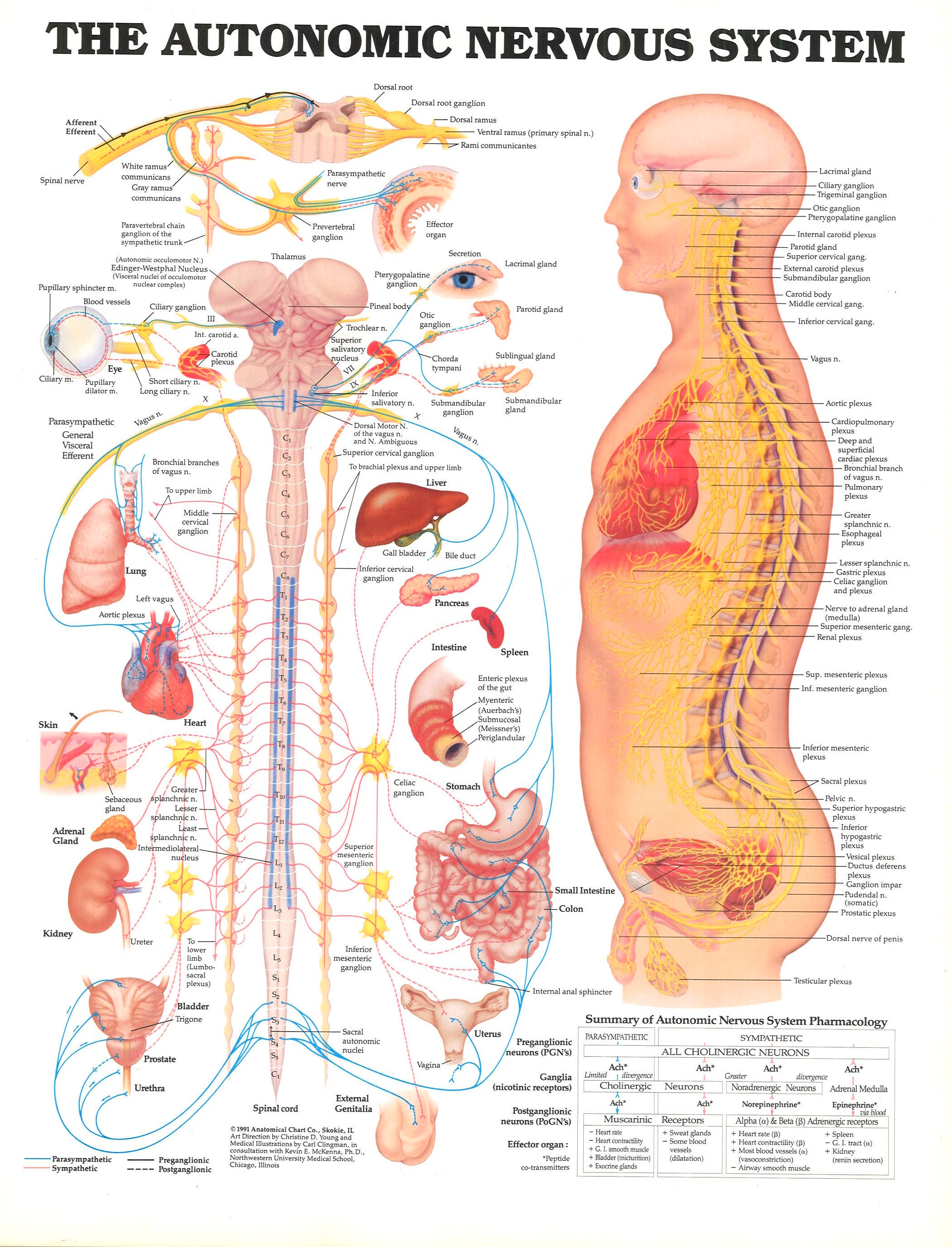 Anatomy Nervous System Sva Library Picture Periodicals Collections