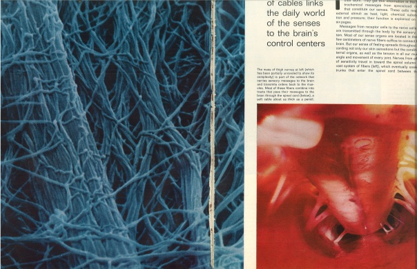 Thigh Nerves (left) Spinal Cord (right). Life Oct. 1, 1971.