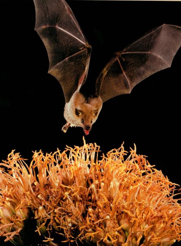 national wildlife june july 07 - townsend big-eared bat