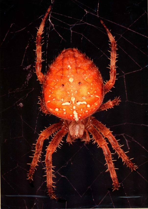 Spider, Red